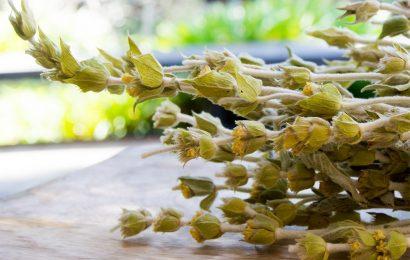 Греческий чай ту вуну. Лечебные свойства.